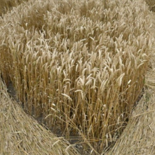 Crop Circle wheat - Avebury Manor, Wiltshire England - from Patty Greer Films